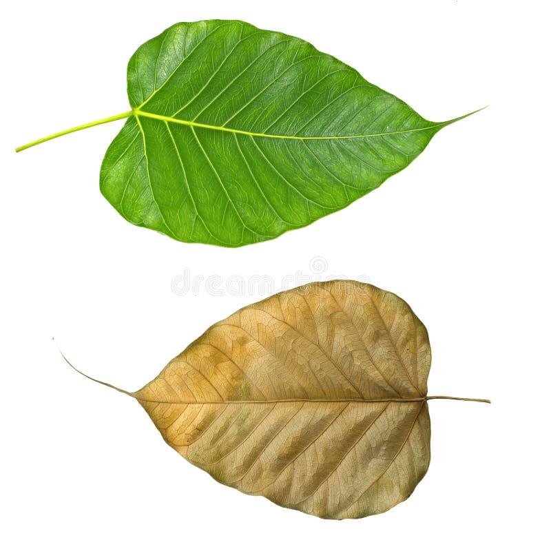 Πράσινο και ξηρό φύλλο του BO στοκ εικόνες