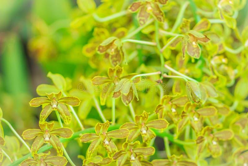 Πράσινο και σκοτεινό καφετί υπόβαθρο λουλουδιών ορχιδεών Grammatophyllum στοκ εικόνες