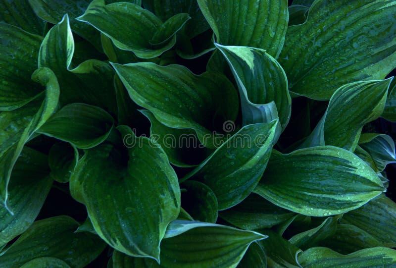 Πράσινο καλοκαίρι Hosta εγκαταστάσεων κήπων στοκ εικόνα