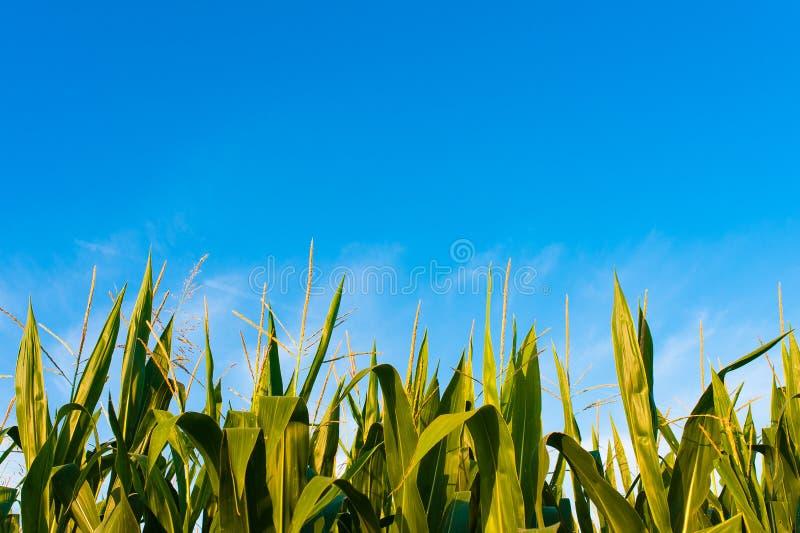 Πράσινο καλαμπόκι με το σαφή μπλε ουρανό στην ηλιόλουστη ημέρα το καλοκαίρι στην επαρχία στοκ φωτογραφία με δικαίωμα ελεύθερης χρήσης