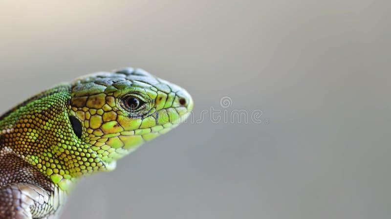 Πράσινο κεφάλι σαυρών στο γκρίζο υπόβαθρο, μακρο άποψη Ρηχό βάθος του τομέα, μαλακή εστίαση στοκ εικόνες