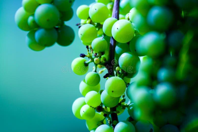 πράσινο κρασί σταφυλιών τ&omicro στοκ φωτογραφίες με δικαίωμα ελεύθερης χρήσης