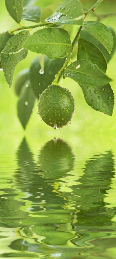 πράσινο κρεμώντας λεμόνι στοκ φωτογραφία με δικαίωμα ελεύθερης χρήσης
