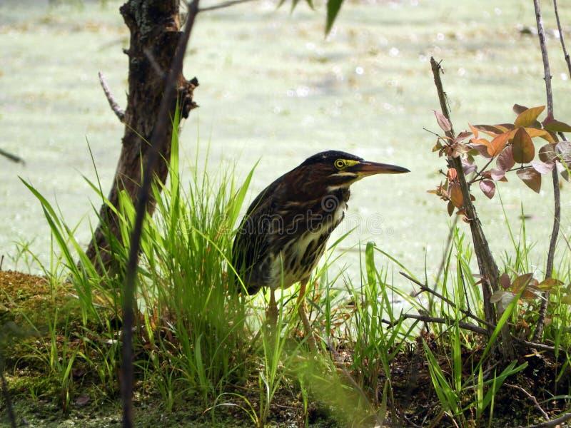 Πράσινο κυνήγι ερωδιών στο ρηχό νερό ελών στοκ φωτογραφία με δικαίωμα ελεύθερης χρήσης
