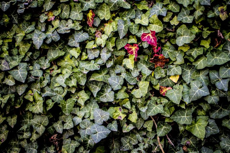 Πράσινο κόκκινο φύλλο φύλλων στοκ εικόνα