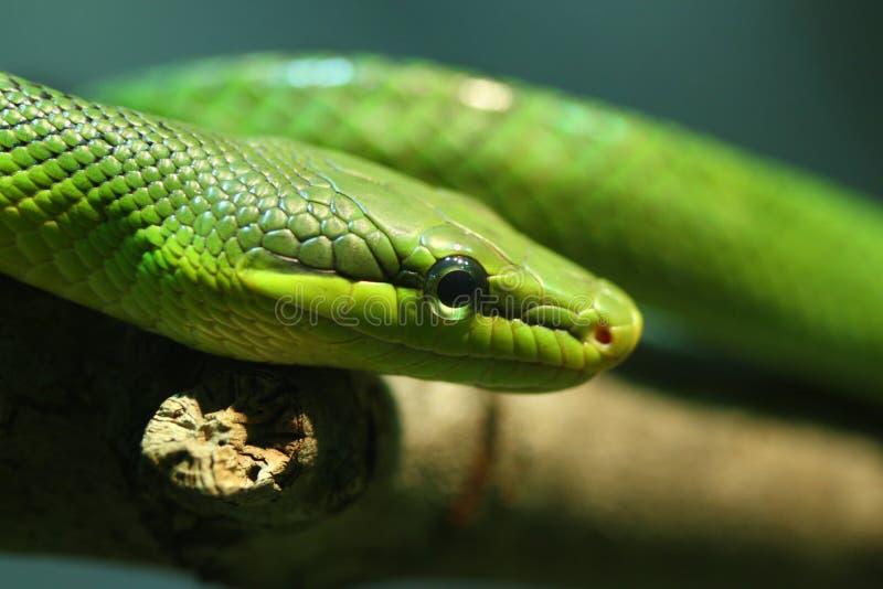 πράσινο κόκκινο ratsnake που παρ&al στοκ φωτογραφία