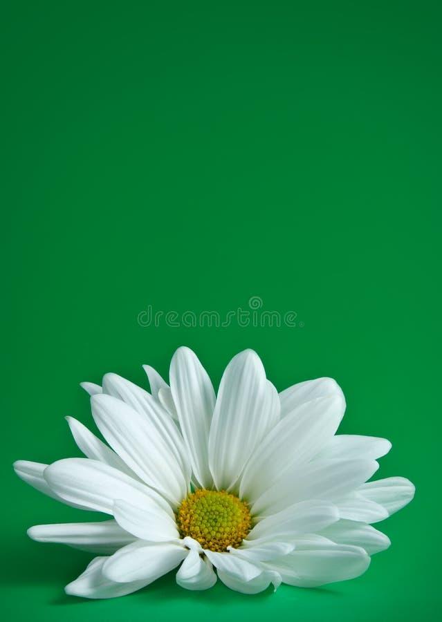 πράσινο λευκό μαργαριτών ανασκόπησης στοκ φωτογραφίες