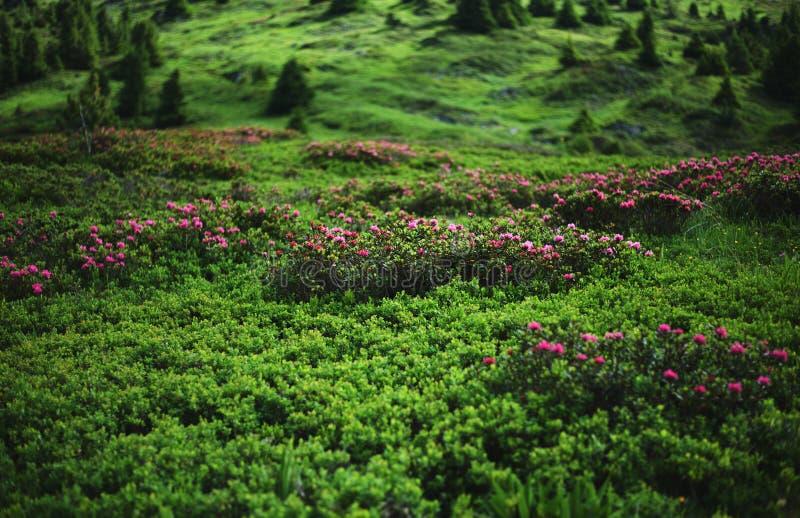 Πράσινο λιβάδι βουνών στις γαλλικές Άλπεις στοκ εικόνες
