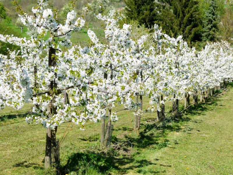 Πράσινο λιβάδι με τα ανθίζοντας δέντρα κερασιών σε μια σειρά στοκ φωτογραφίες
