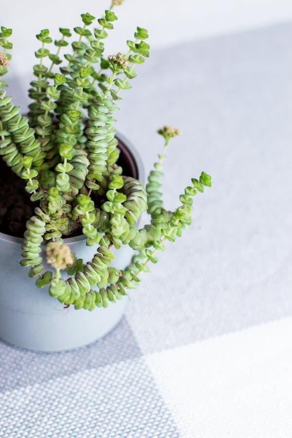 Πράσινο λουλούδι, Crassula Nealeana, σπάνιες succulent εγκαταστάσεις σε ένα γκρίζο δοχείο, έννοια εγχώριων εσωτερική διακοσμήσεων στοκ εικόνες με δικαίωμα ελεύθερης χρήσης