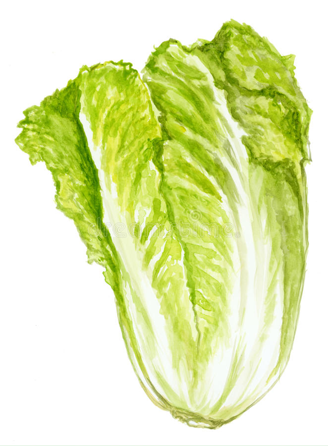 πράσινο μαρούλι απεικόνιση αποθεμάτων