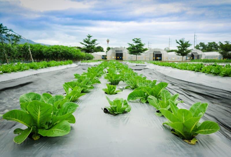 Πράσινο μαρούλι μαρουλιών στο υπόβαθρο θερμοκηπίων εγκαταστάσεων τομέων στοκ εικόνα