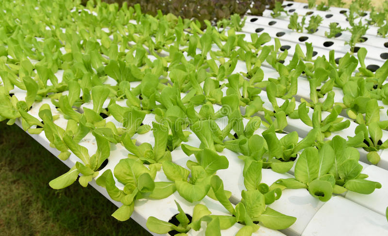 Πράσινο μαρούλι μαρουλιών φρέσκο στοκ εικόνες