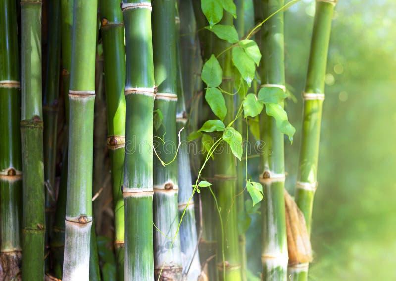 Πράσινο μπαμπού σε ένα δάσος της Ασίας στοκ φωτογραφίες με δικαίωμα ελεύθερης χρήσης