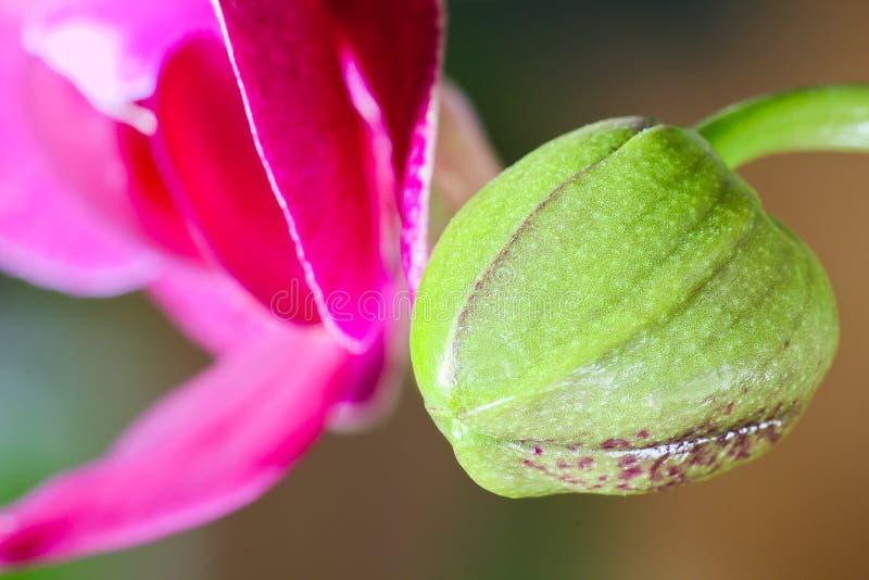 Πράσινο μπουμπούκι τριαντάφυλλου του άνθους ορχιδεών, μακρο φωτογραφία στοκ φωτογραφία