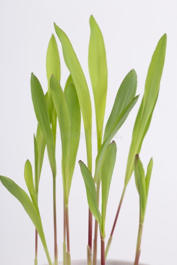 πράσινο να αναπτύξει σιταρ&io στοκ φωτογραφία