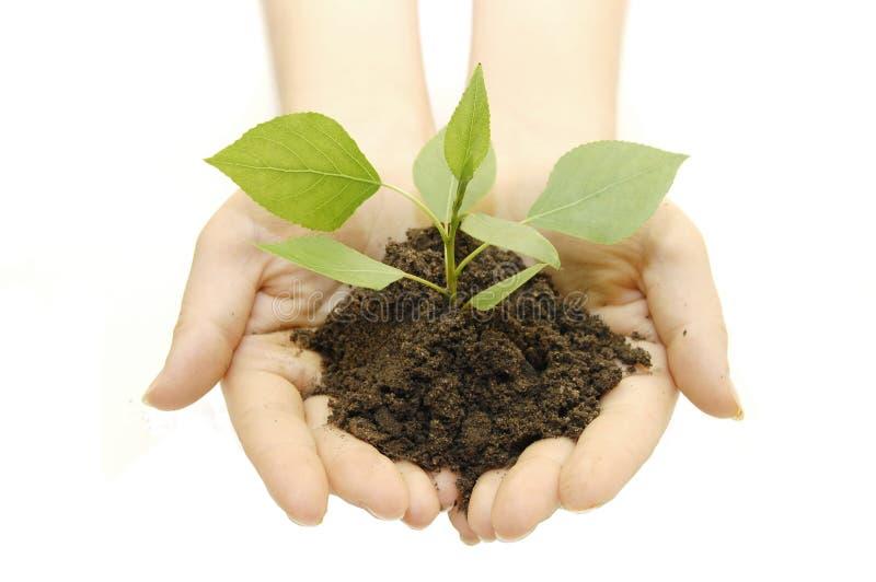 πράσινο να αναπτύξει φυτό χεριών στοκ εικόνα