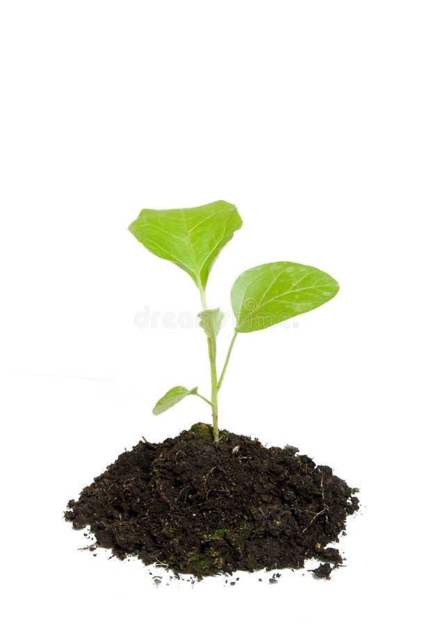 πράσινο να αναπτύξει φυτό στοκ εικόνα