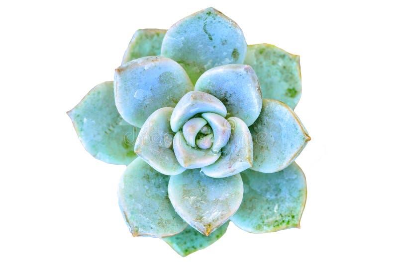 Πράσινο λουλούδι κάκτων στοκ φωτογραφία
