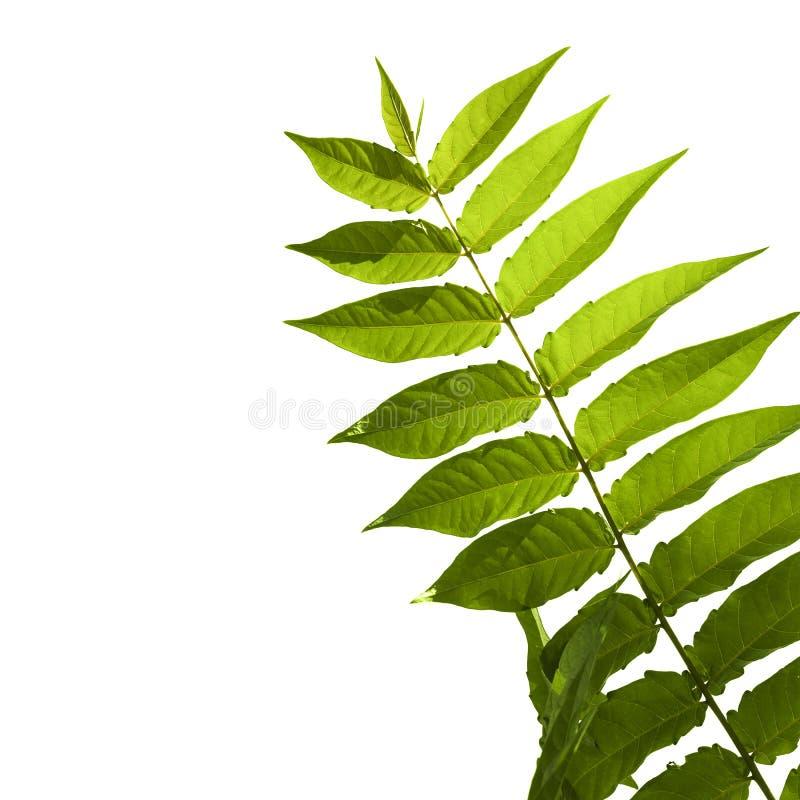 Πράσινο περίεργο pinnate φύλλο ενός τροπικού φυτού που απομονώνεται στοκ φωτογραφίες