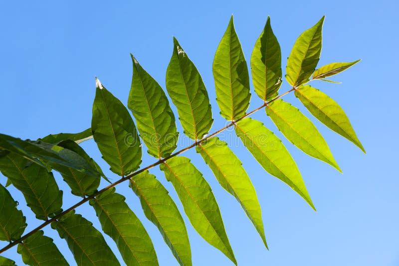 Πράσινο περίεργο pinnate φύλλο ενός τροπικού φυτού στοκ φωτογραφίες