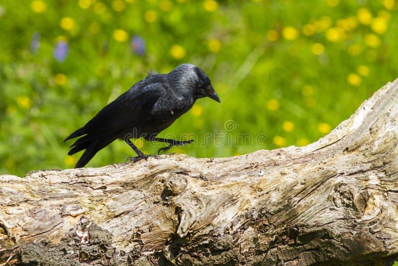 πράσινο περπάτημα monedula λιβαδιών καργών corvus στοκ εικόνες