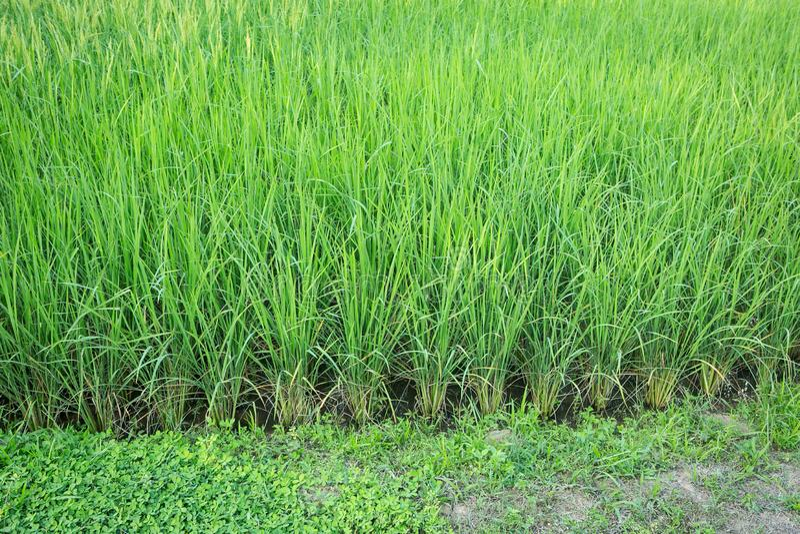 πράσινο ρύζι Ταϊλάνδη πεδίων στοκ φωτογραφία με δικαίωμα ελεύθερης χρήσης
