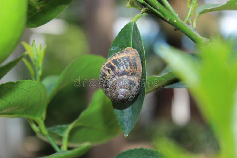 Πράσινο σαλιγκάρι φύλλων λεμονιών Garner στοκ φωτογραφία με δικαίωμα ελεύθερης χρήσης
