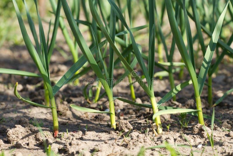 Πράσινο σκόρδο στοκ εικόνες με δικαίωμα ελεύθερης χρήσης