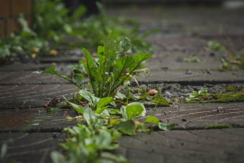 Πράσινο σπάσιμο ζιζανίων μέσω των ρωγμών στη μαύρη άσφαλτο στοκ εικόνα