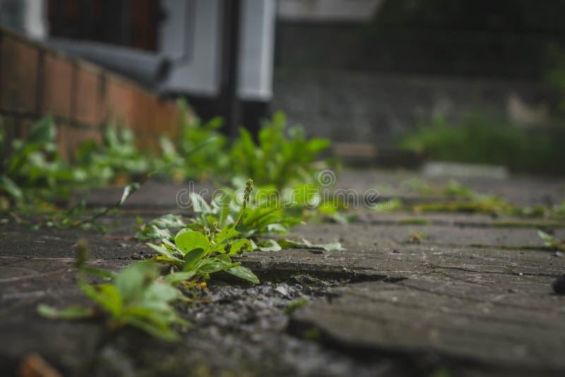 Πράσινο σπάσιμο ζιζανίων μέσω των ρωγμών στη μαύρη άσφαλτο στοκ εικόνες