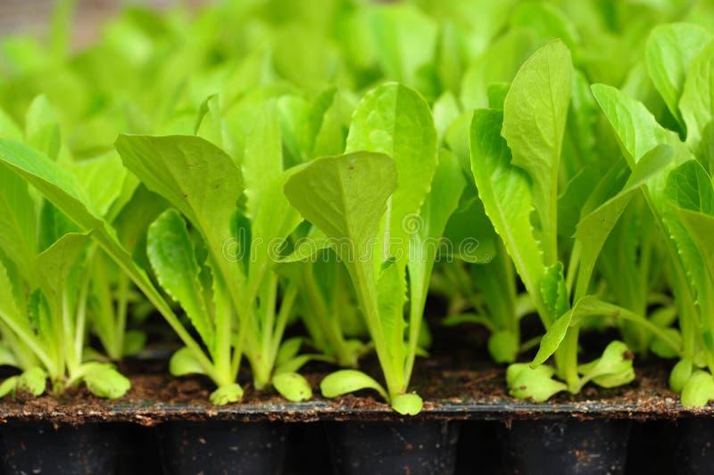 Πράσινο σπορόφυτο μαρουλιού. τρόφιμα και λαχανικό στοκ εικόνα με δικαίωμα ελεύθερης χρήσης