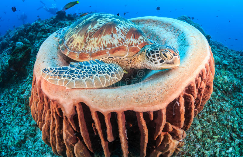 Πράσινο σφουγγάρι χελωνών και βαρελιών στοκ φωτογραφίες