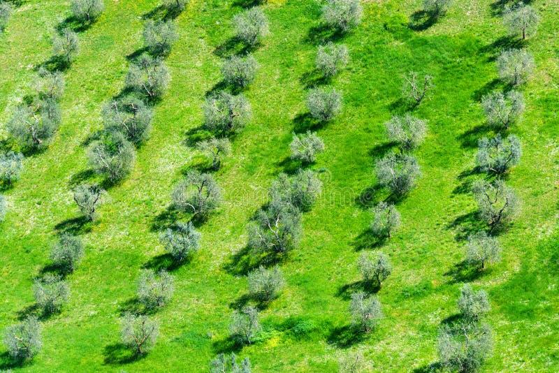 Πράσινο τοπίο πεδίων Όμορφο Tuscan αγροτικό τοπίο με τις ελιές Υπόβαθρο στοκ εικόνα