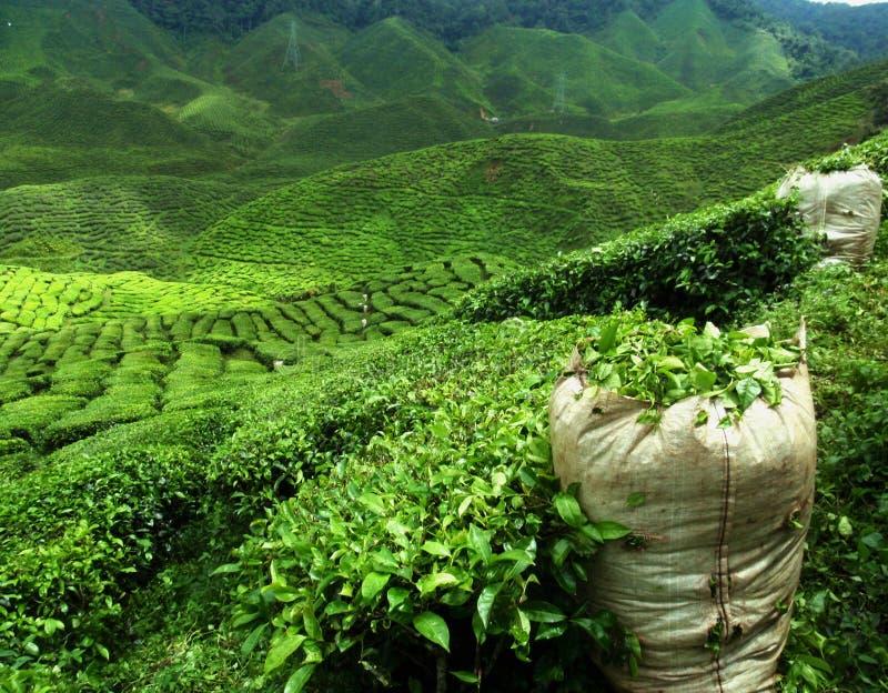 Πράσινο τοπίο φυτειών τσαγιού στοκ εικόνα