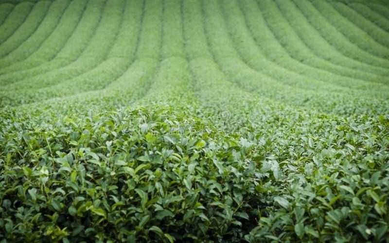 Πράσινο τοπίο φυτειών τσαγιού στοκ εικόνες με δικαίωμα ελεύθερης χρήσης