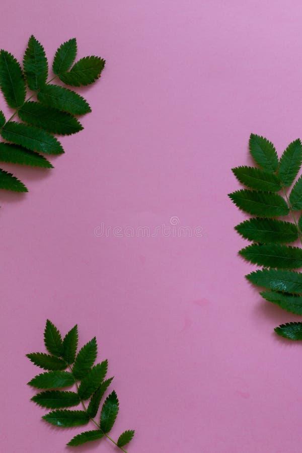 Πράσινο τροπικό πλαίσιο φύλλων στο ρόδινο υπόβαθρο στοκ εικόνες