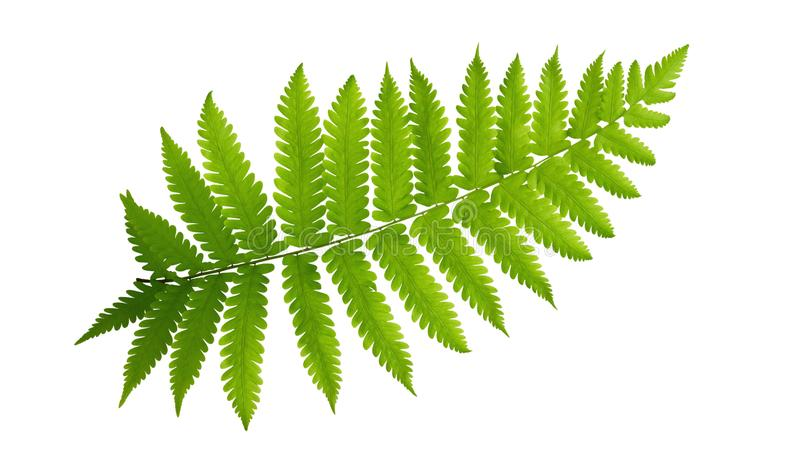 Πράσινο τροπικό φυτό φτερών φύλλων που απομονώνεται στο άσπρο υπόβαθρο, πορεία στοκ φωτογραφίες