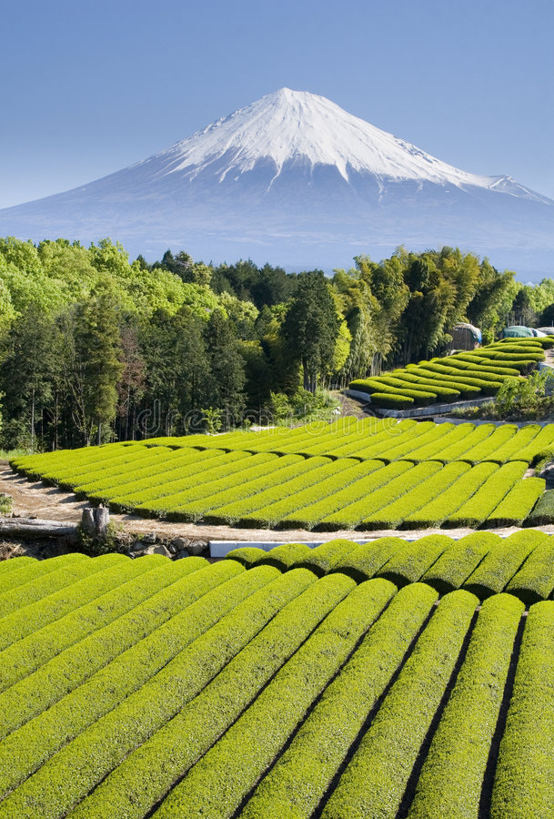 πράσινο τσάι β πεδίων στοκ φωτογραφία