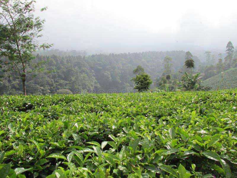πράσινο τσάι πεδίων στοκ φωτογραφία με δικαίωμα ελεύθερης χρήσης