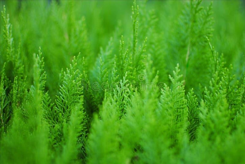 Πράσινο υπόβαθρο διακοσμητικών εγκαταστάσεων Thuja μικρό κωνοφόρο στοκ εικόνες