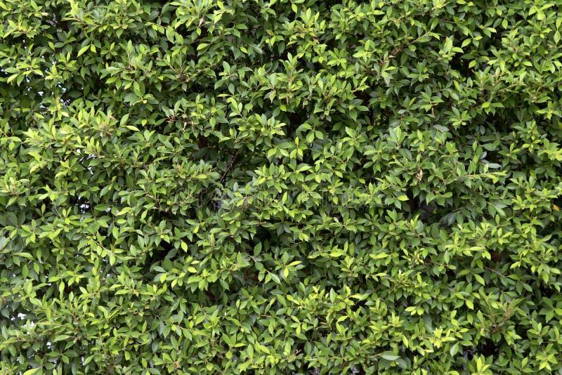 Πράσινο υπόβαθρο τοίχων δέντρων Πράσινο υπόβαθρο φύλλων στοκ εικόνα