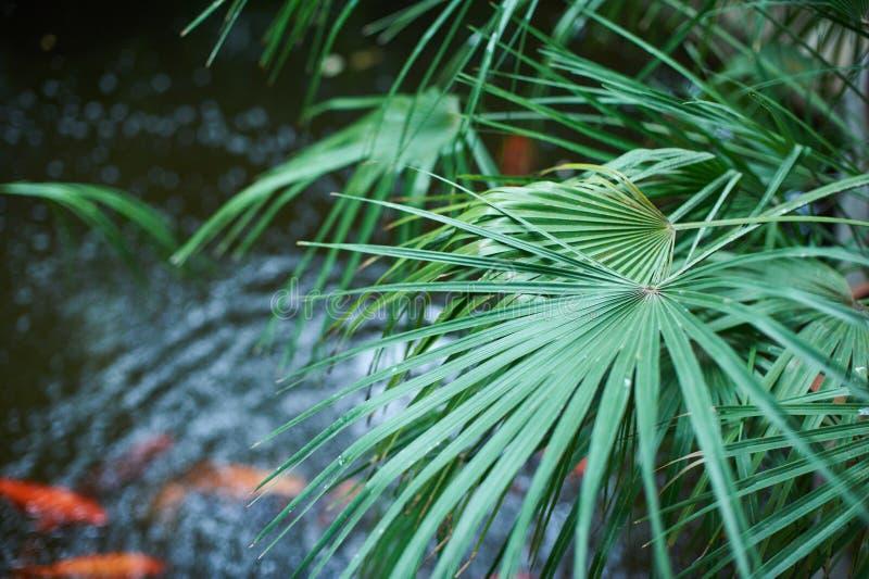Πράσινο υπόβαθρο φυλλώματος φοινικών, τροπικά φύλλα ζουγκλών με τη λίμνη στοκ φωτογραφία