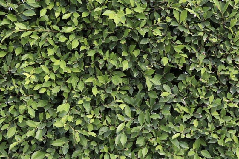Πράσινο υπόβαθρο φύλλων Πράσινο υπόβαθρο φύλλων δέντρων Banyan στοκ εικόνες