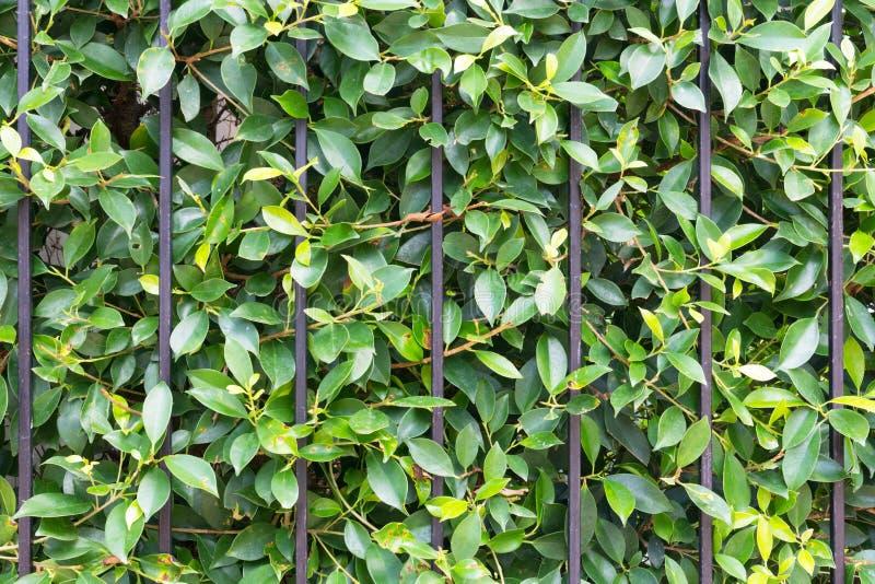 Πράσινο υπόβαθρο φύλλων δέντρων στοκ εικόνες