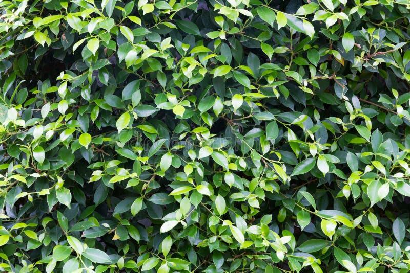 Πράσινο υπόβαθρο φύλλων δέντρων στοκ εικόνα με δικαίωμα ελεύθερης χρήσης