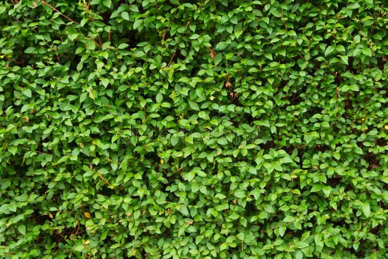 Πράσινο υπόβαθρο φύλλων, φρέσκο σχέδιο χρώματος πρασινάδων στοκ φωτογραφίες με δικαίωμα ελεύθερης χρήσης