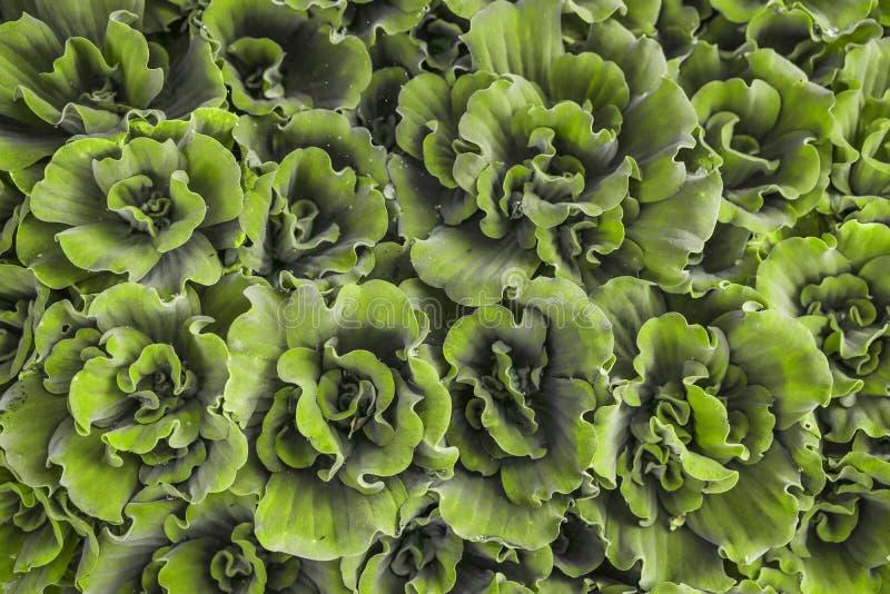 Πράσινο υπόβαθρο, χαλί των σαρκωδών ροζέτων του ιστού αράχνης Houseleek, succulent εγκαταστάσεις που αυξάνεται εγγενώς στοκ εικόνες