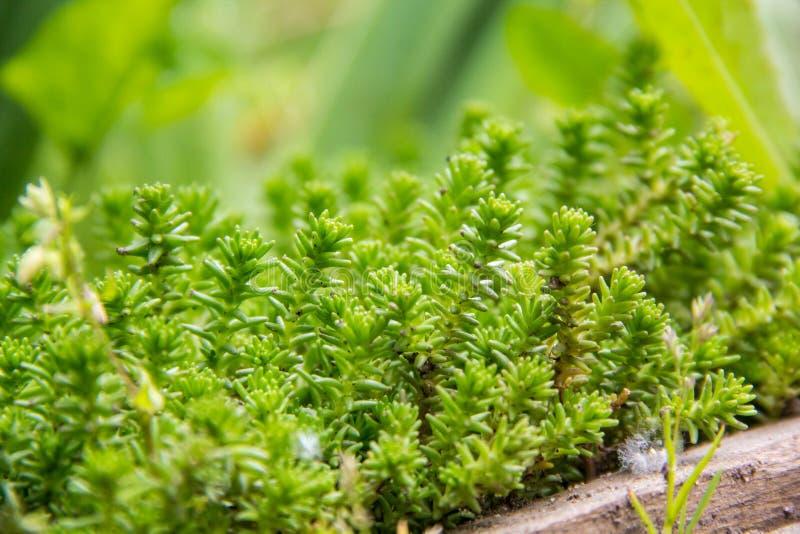 Πράσινο υπόβαθρο Succulents Το λεύκωμα Sedum ή άσπρο stonecrop, είναι ένα ανθίζοντας φυτό του γένους στοκ εικόνα με δικαίωμα ελεύθερης χρήσης