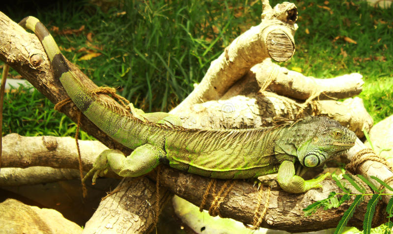 Πράσινο υπόλοιπο iguana στοκ εικόνες